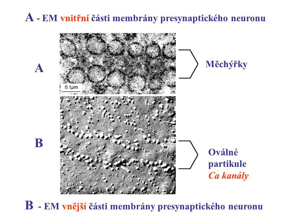 A - EM vnitřní části membrány presynaptického neuronu