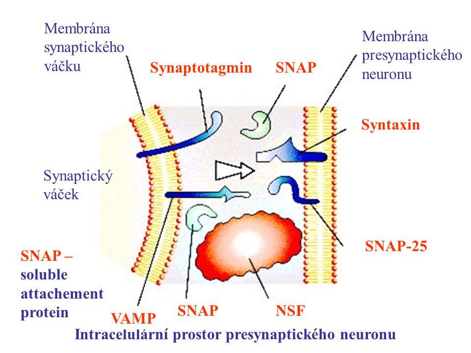Intracelulární prostor presynaptického neuronu