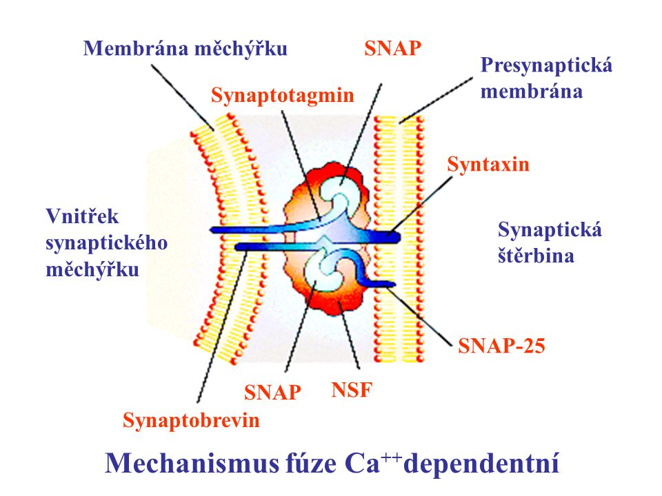Mechanismus fúze Ca++dependentní
