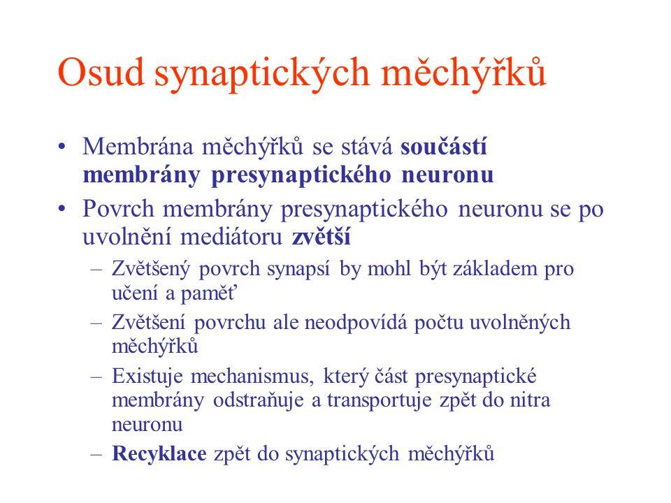 Osud synaptických měchýřků