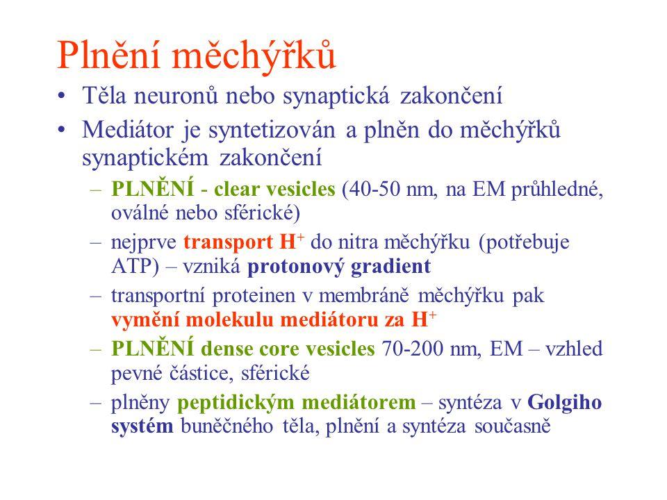 Plnění měchýřků Těla neuronů nebo synaptická zakončení