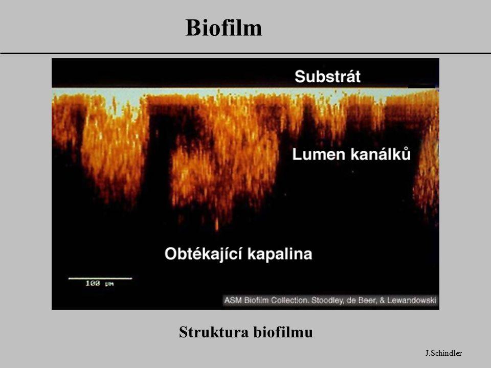 Biofilm Struktura biofilmu J.Schindler