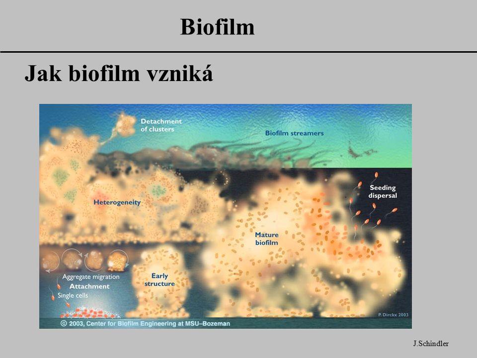 Biofilm Jak biofilm vzniká J.Schindler