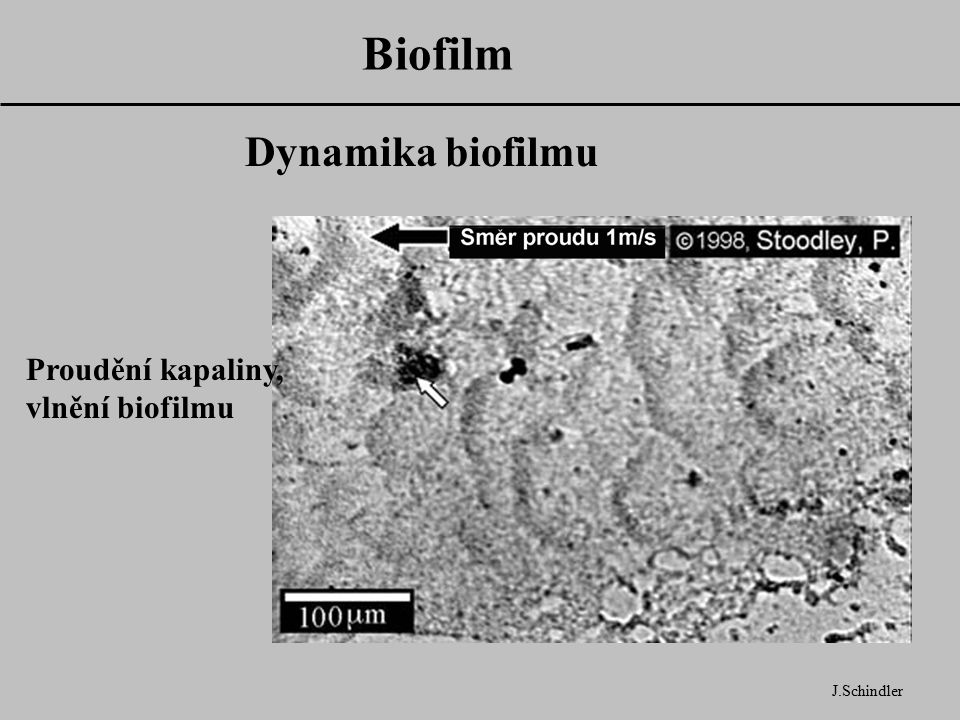 Biofilm Dynamika biofilmu Proudění kapaliny, vlnění biofilmu