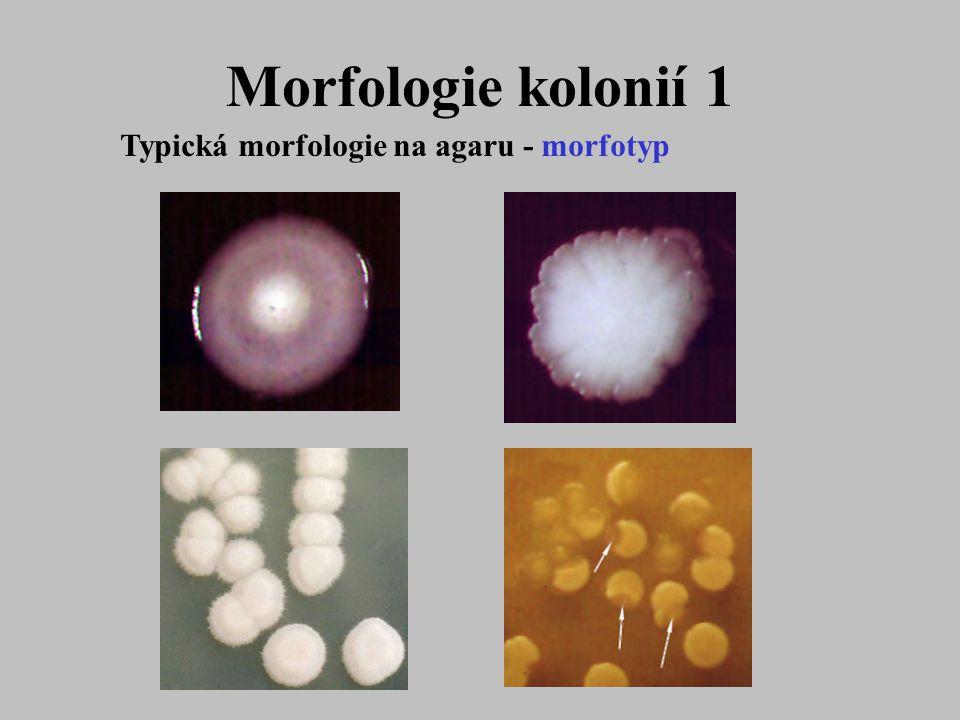 Morfologie kolonií 1 Typická morfologie na agaru - morfotyp