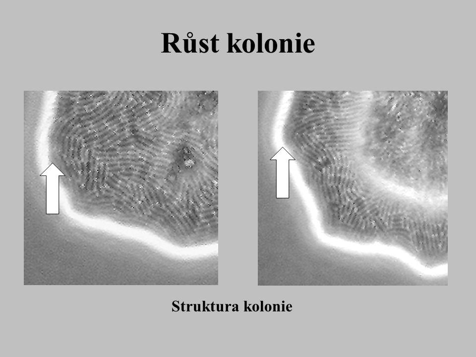 Růst kolonie Struktura kolonie