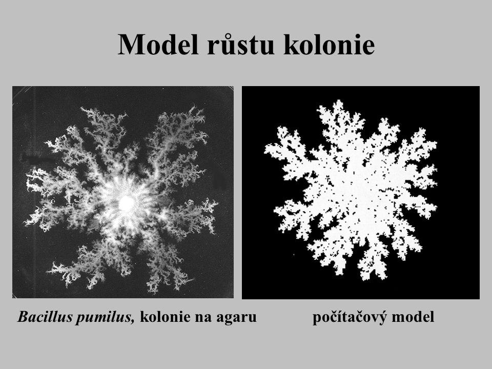Model růstu kolonie Bacillus pumilus, kolonie na agaru počítačový model