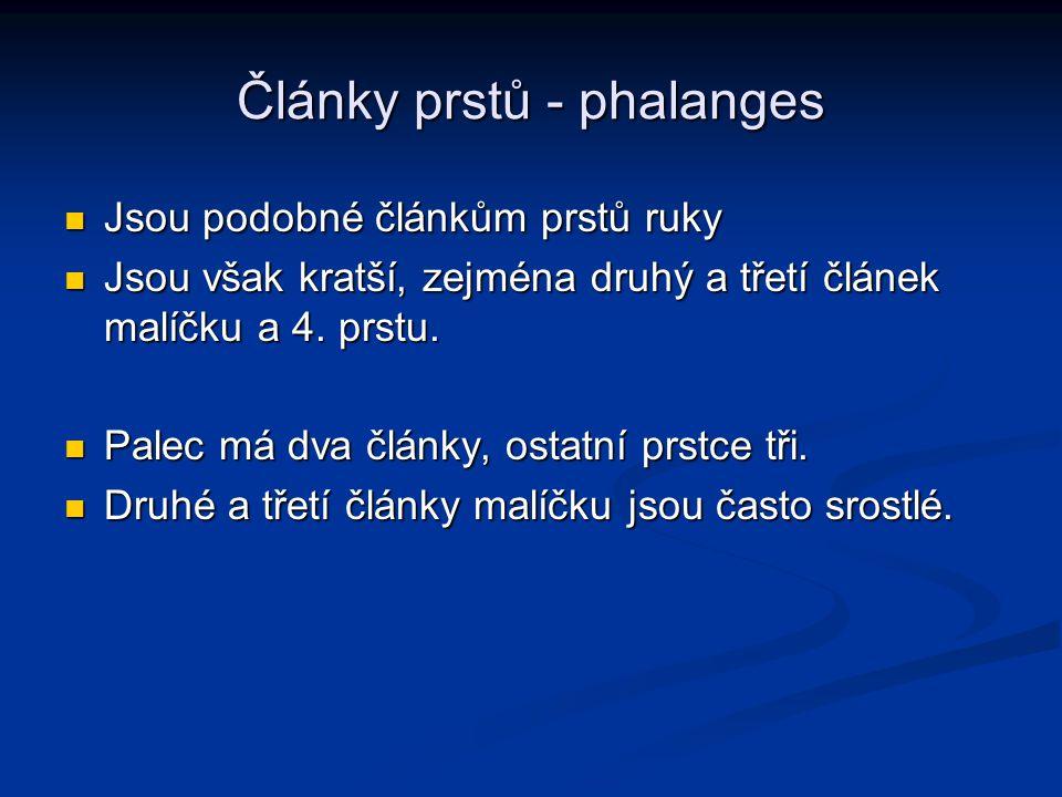 Články prstů - phalanges