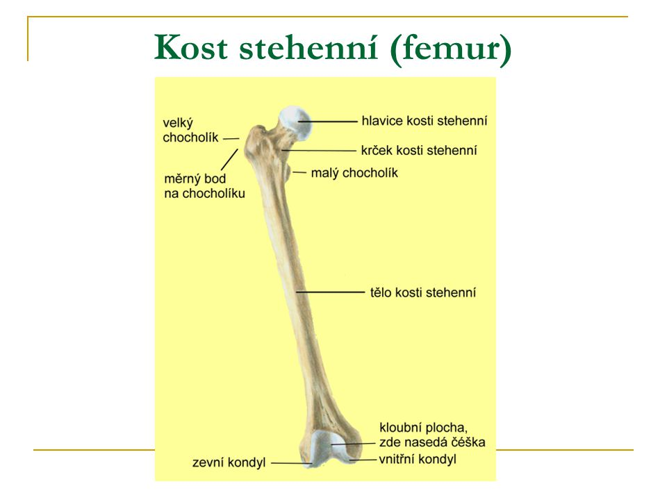 Kost stehenní (femur)