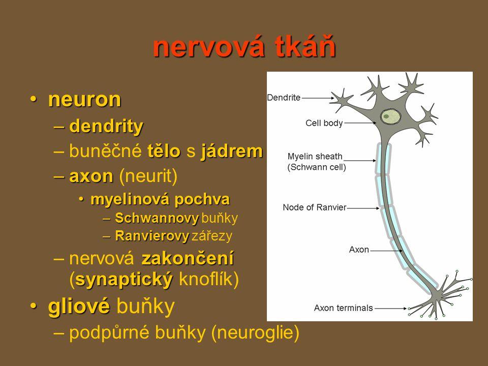 nervová tkáň neuron gliové buňky dendrity buněčné tělo s jádrem