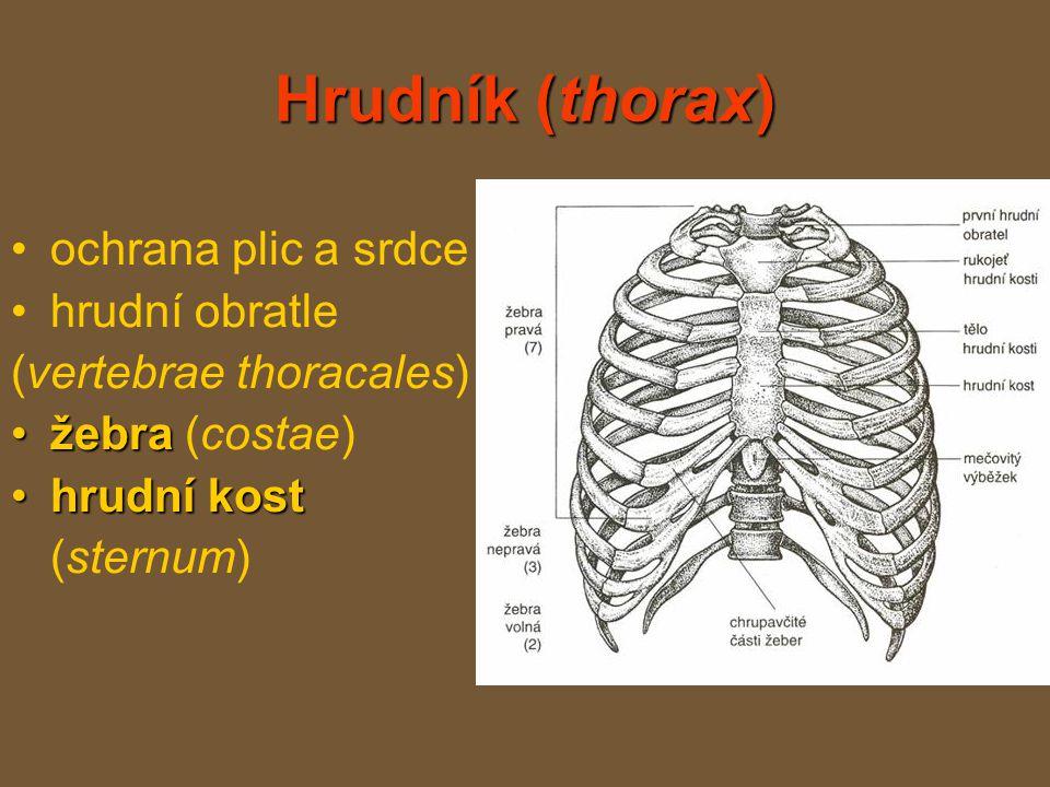 Hrudník (thorax) ochrana plic a srdce hrudní obratle