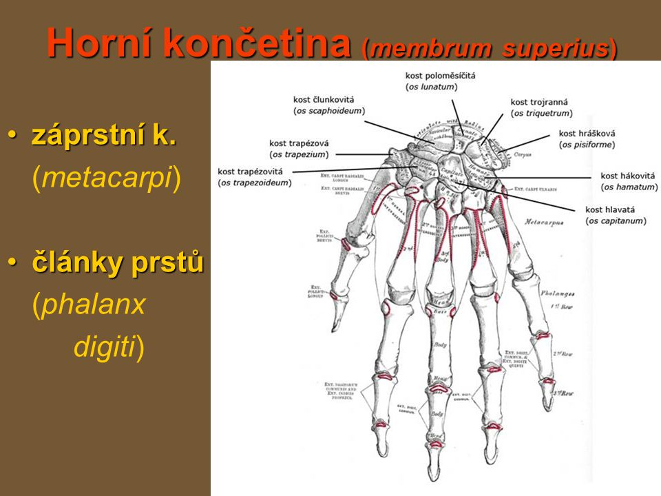 Horní končetina (membrum superius)