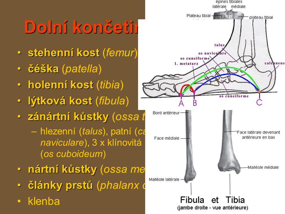 Dolní končetina (membrum inferius)