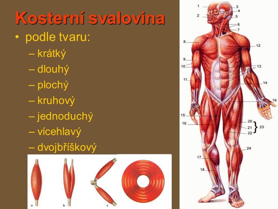 Kosterní svalovina podle tvaru: krátký dlouhý plochý kruhový