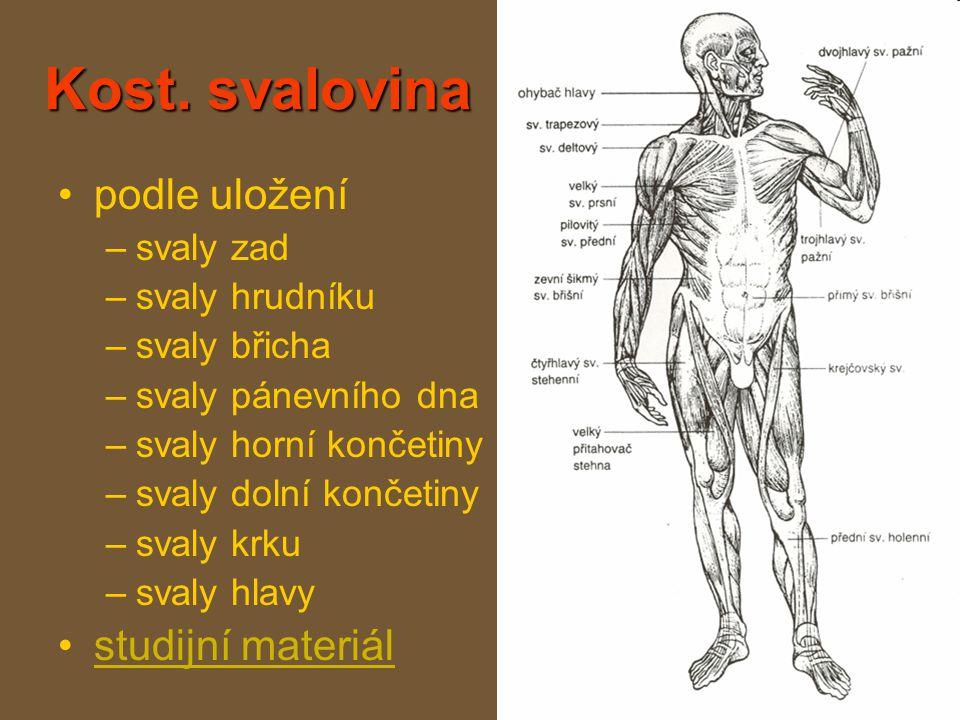 Kost. svalovina podle uložení studijní materiál svaly zad