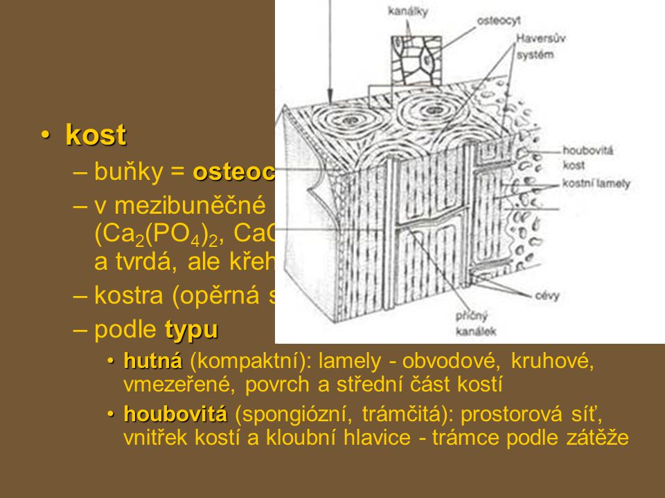 pojiva kost buňky = osteocyty