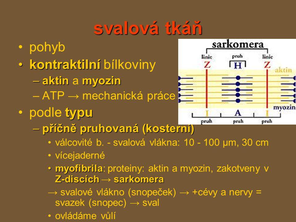 svalová tkáň pohyb kontraktilní bílkoviny podle typu aktin a myozin