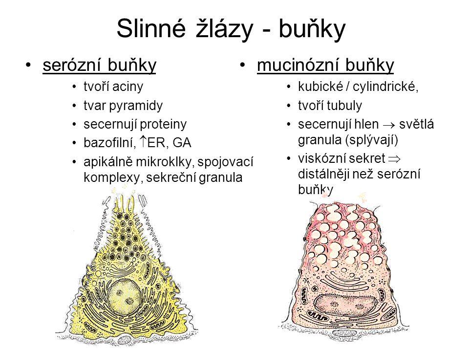 Slinné žlázy - buňky serózní buňky mucinózní buňky tvoří aciny