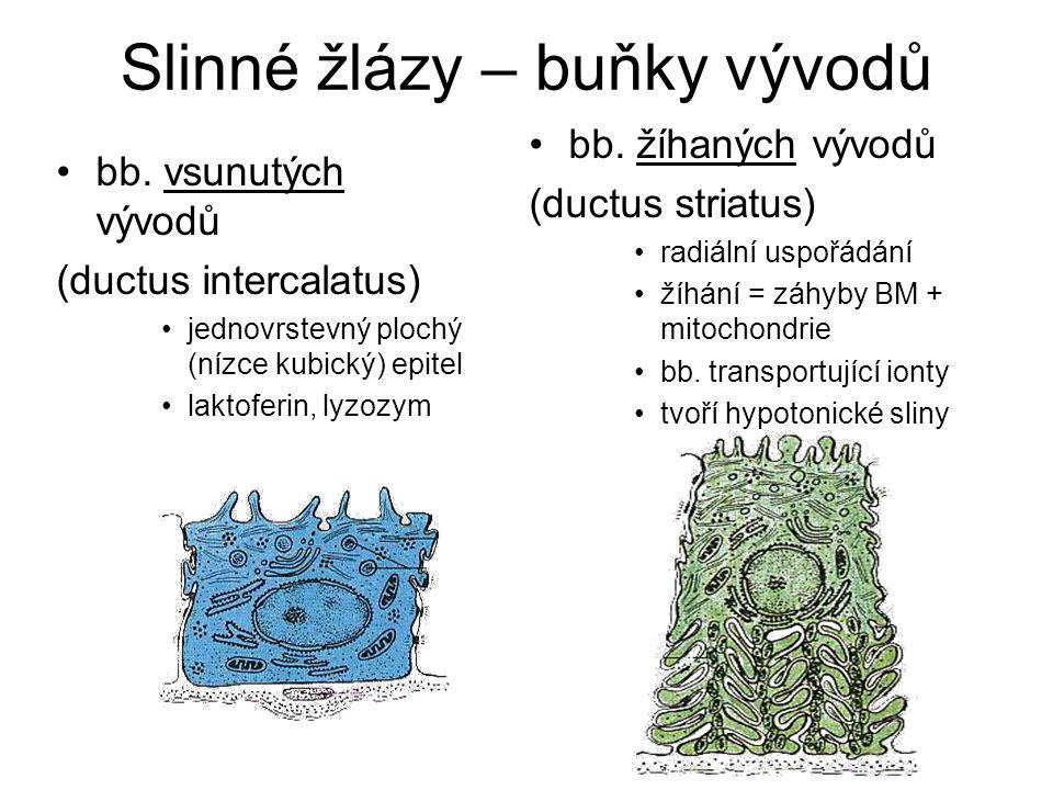 Slinné žlázy – buňky vývodů
