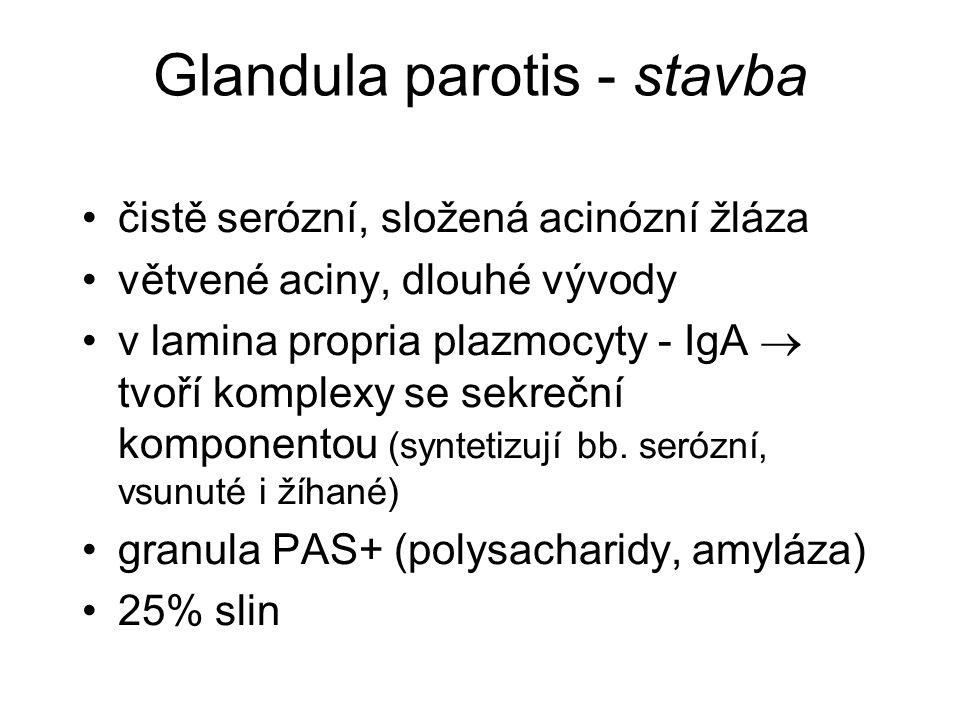 Glandula parotis - stavba