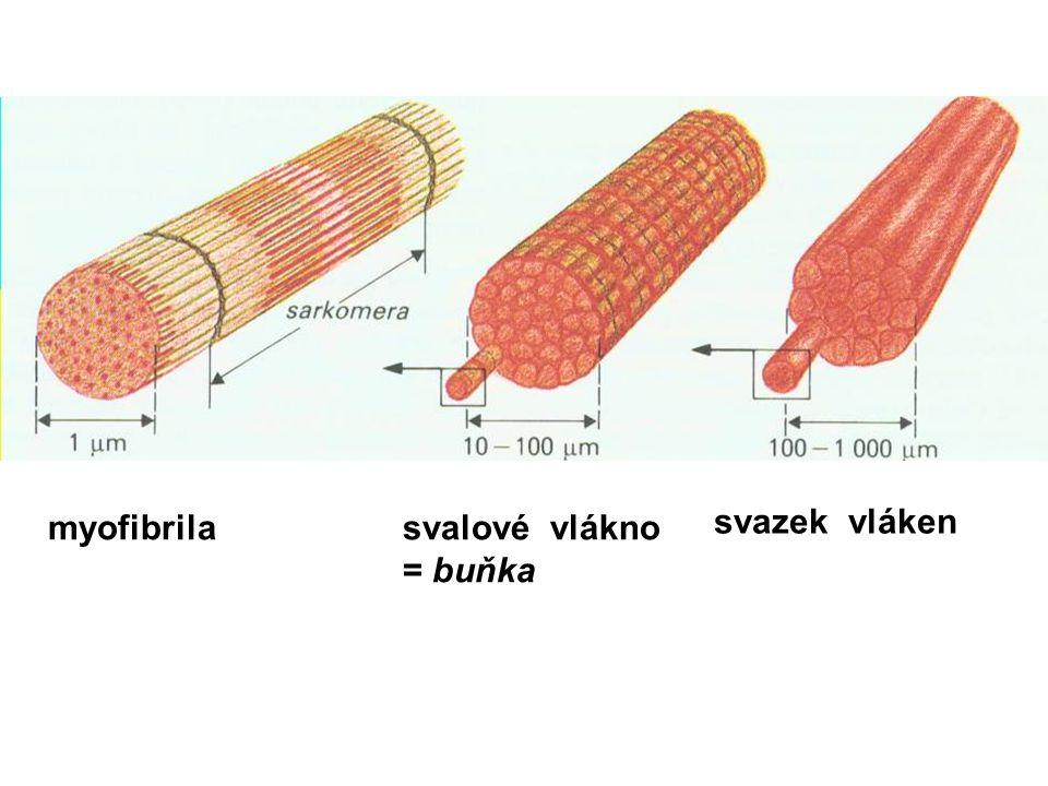 myofibrila svalové vlákno = buňka svazek vláken