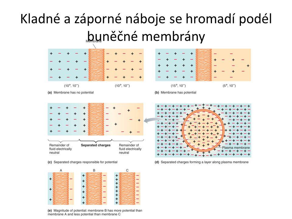 Kladné a záporné náboje se hromadí podél buněčné membrány