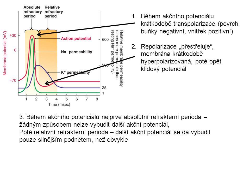 Během akčního potenciálu krátkodobě transpolarizace (povrch buňky negativní, vnitřek pozitivní)