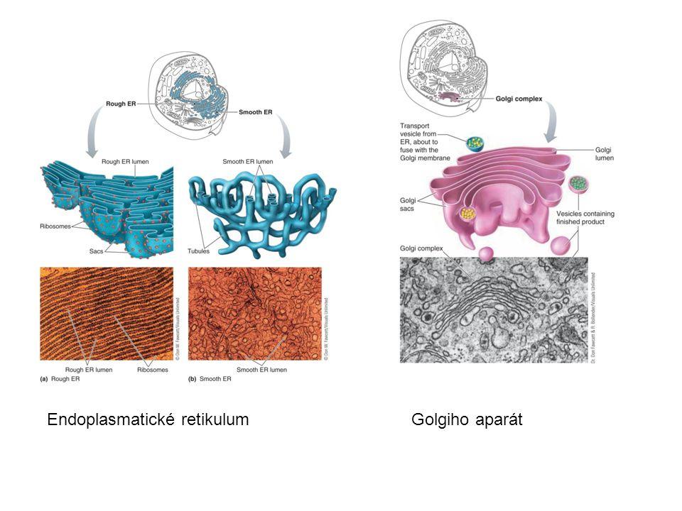 Endoplasmatické retikulum Golgiho aparát
