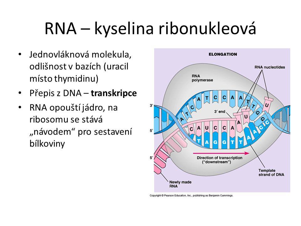 RNA – kyselina ribonukleová