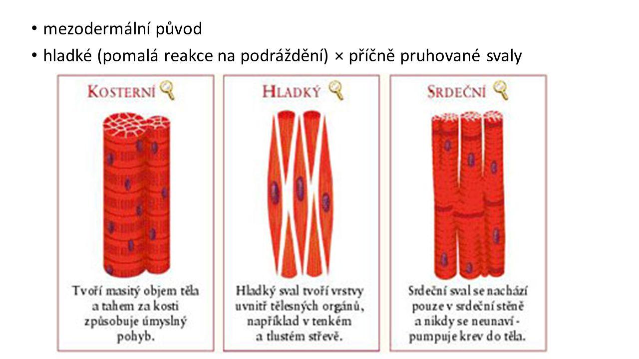 mezodermální původ hladké (pomalá reakce na podráždění) × příčně pruhované svaly