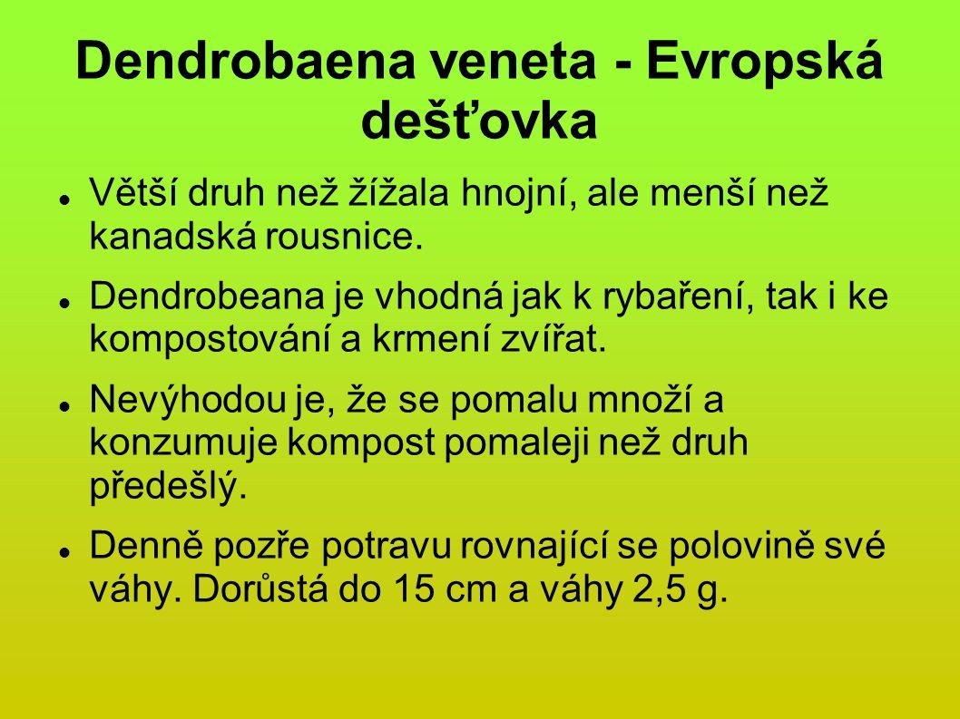 Dendrobaena veneta - Evropská dešťovka
