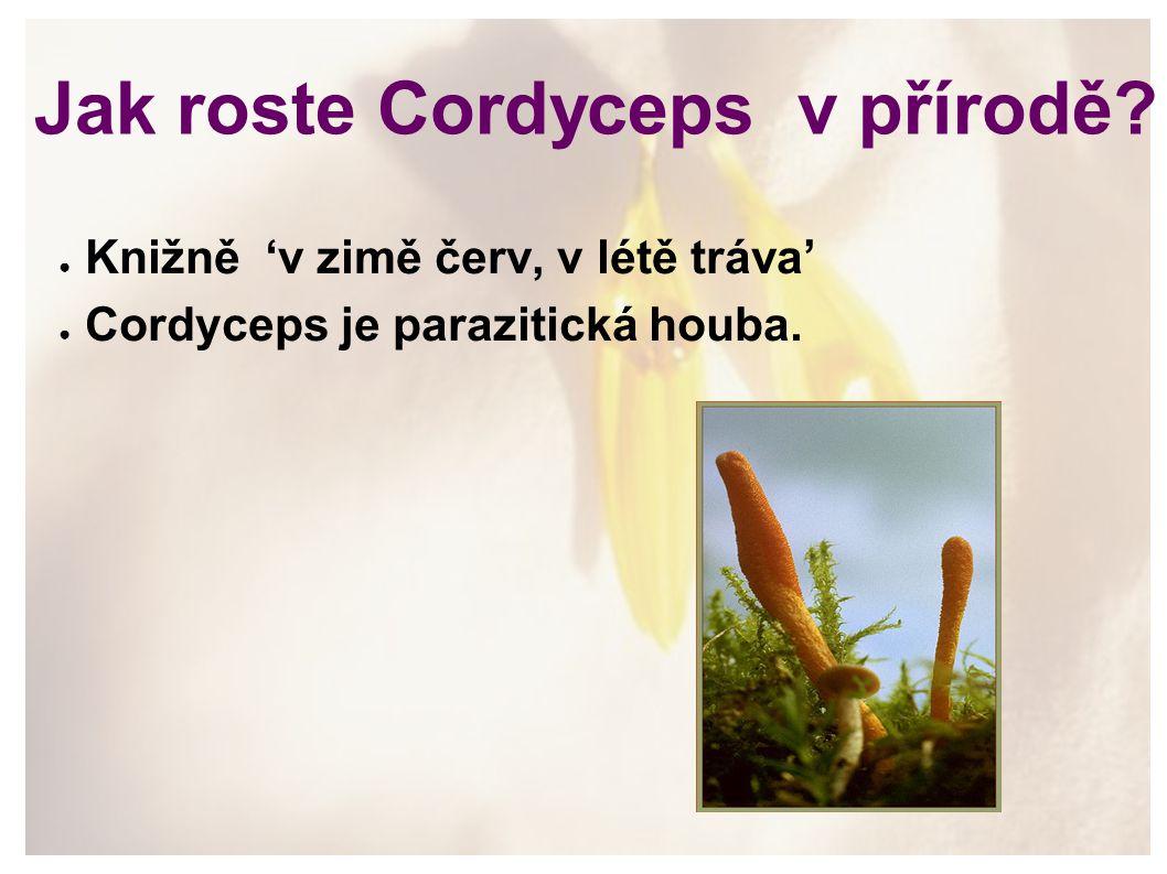 Jak roste Cordyceps v přírodě