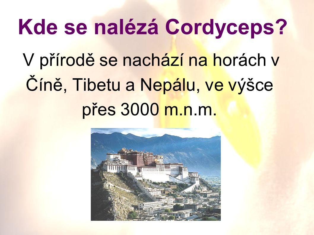 Kde se nalézá Cordyceps