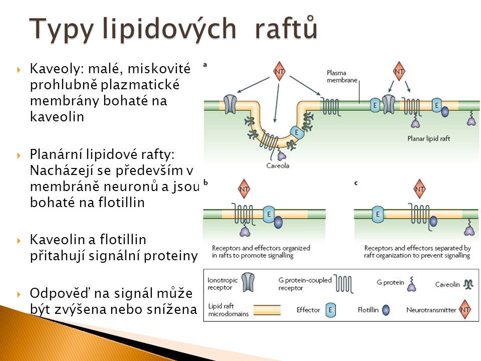 Typy lipidových raftů Kaveoly: malé, miskovité prohlubně plazmatické membrány bohaté na kaveolin.