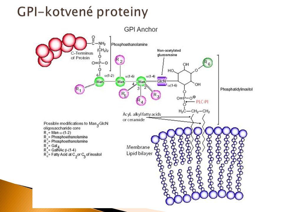 GPI-kotvené proteiny