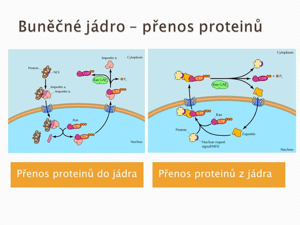 Buněčné jádro – přenos proteinů