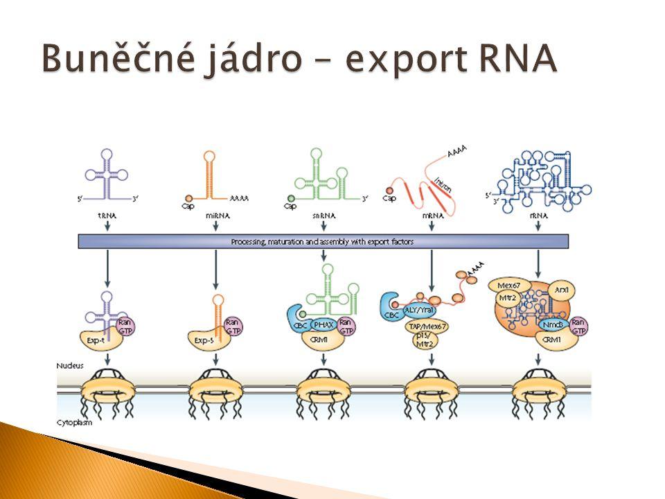 Buněčné jádro – export RNA
