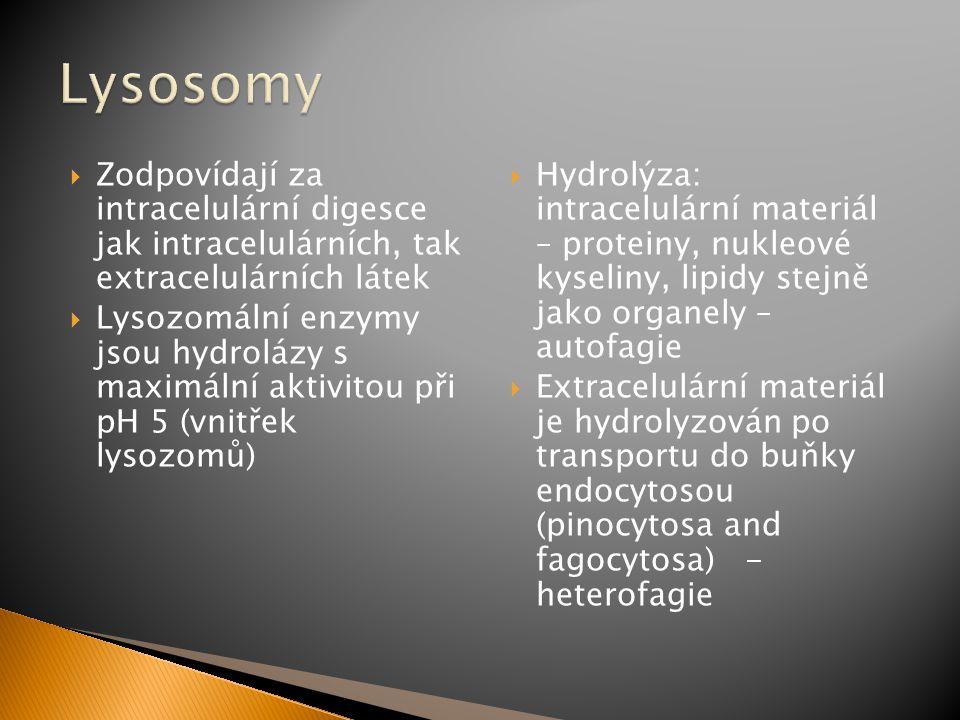 Lysosomy Zodpovídají za intracelulární digesce jak intracelulárních, tak extracelulárních látek.