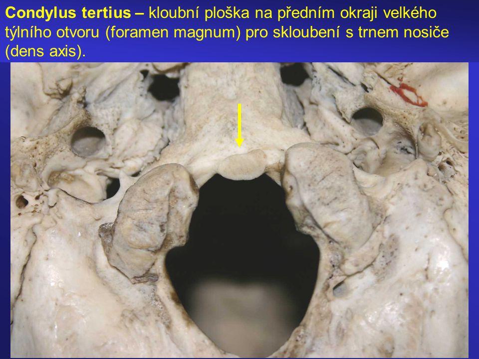 Condylus tertius – kloubní ploška na předním okraji velkého týlního otvoru (foramen magnum) pro skloubení s trnem nosiče (dens axis).