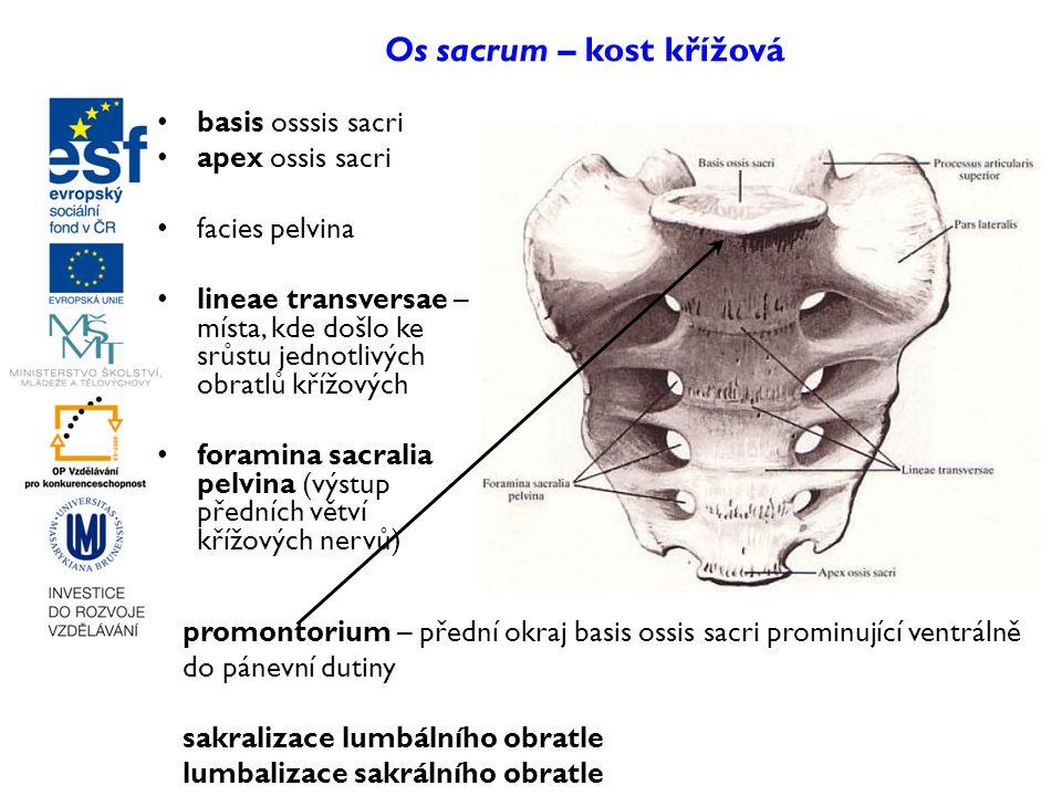 Os sacrum – kost křížová