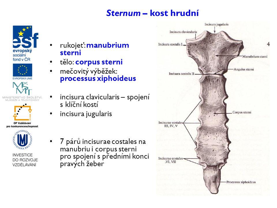 Sternum – kost hrudní rukojeť: manubrium sterni tělo: corpus sterni