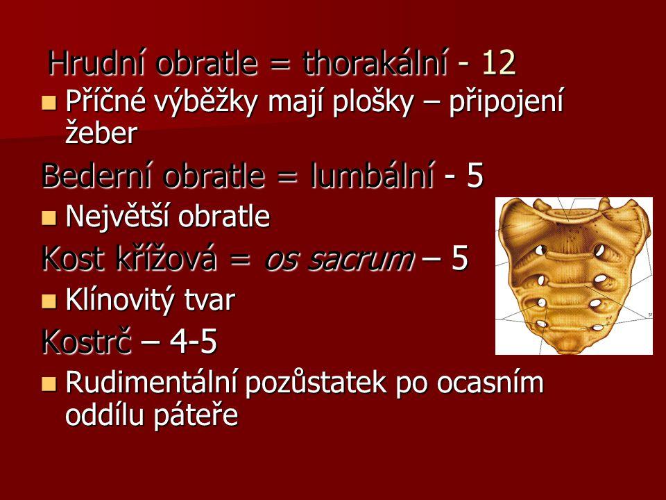 Hrudní obratle = thorakální - 12