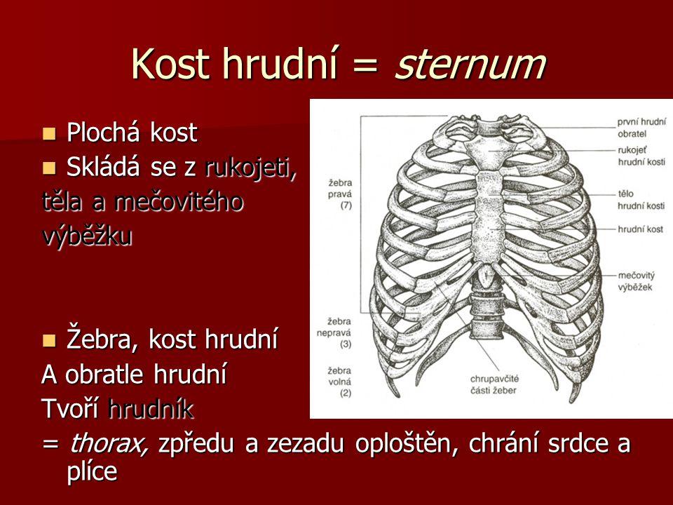 Kost hrudní = sternum Plochá kost Skládá se z rukojeti,