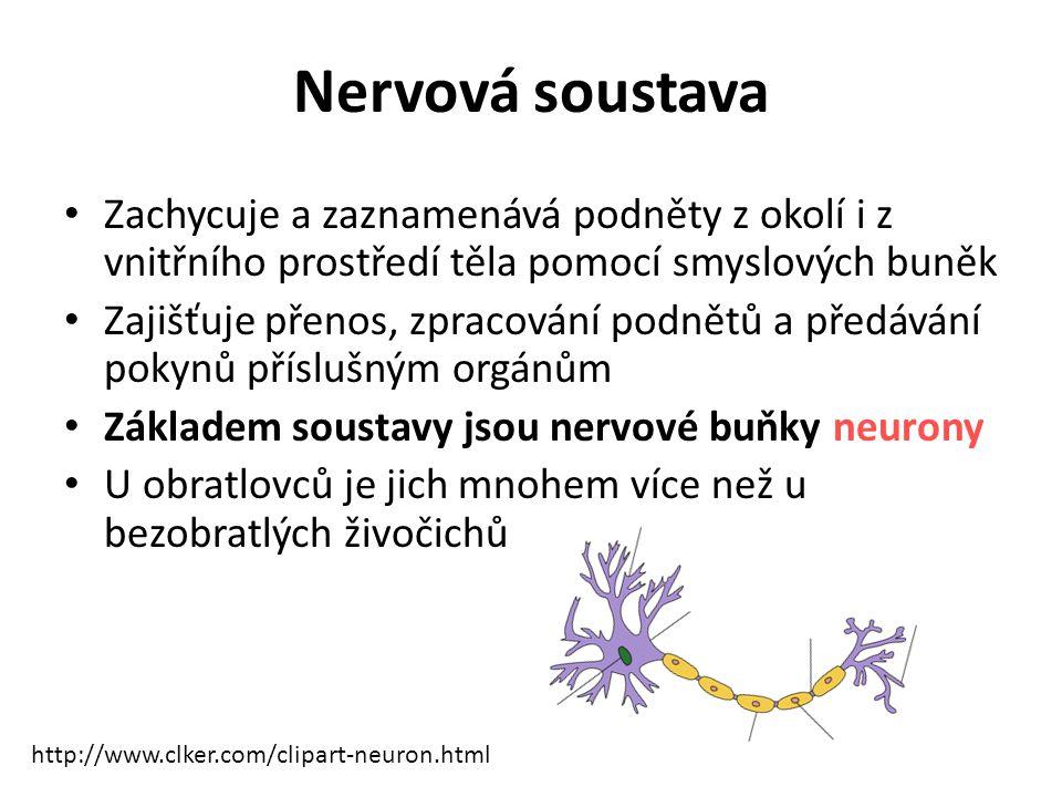 Nervová soustava Zachycuje a zaznamenává podněty z okolí i z vnitřního prostředí těla pomocí smyslových buněk.