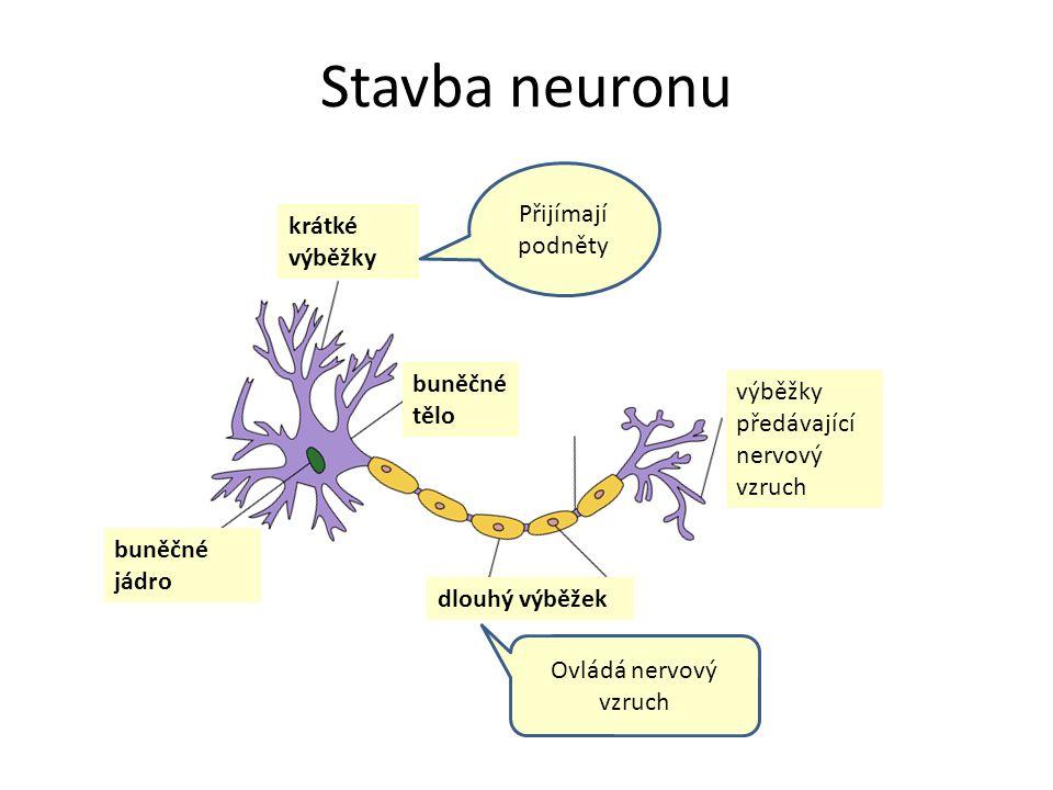 Stavba neuronu Přijímají podněty krátké výběžky buněčné tělo