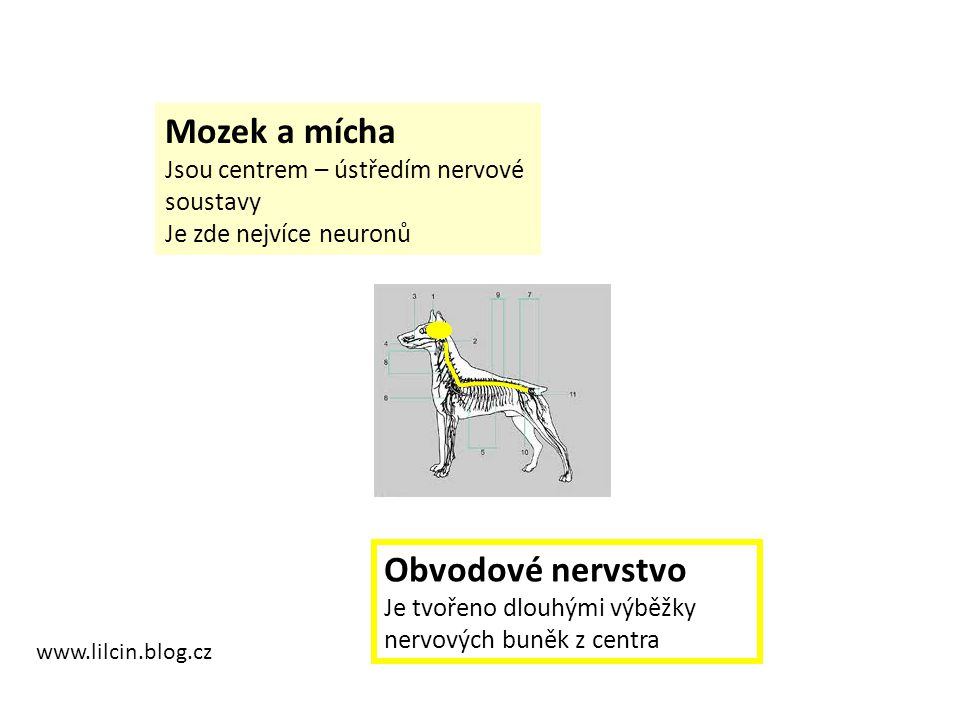 Mozek a mícha Obvodové nervstvo