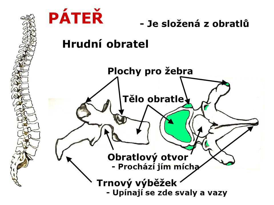 PÁTEŘ Hrudní obratel - Je složená z obratlů Plochy pro žebra