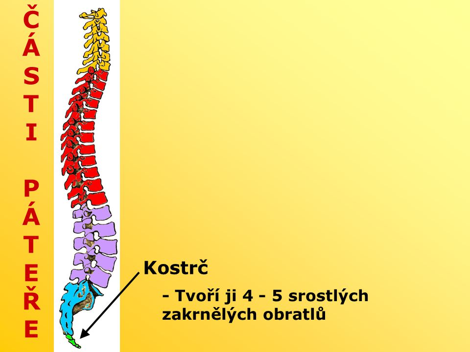 ČÁSTI PÁTEŘE Kostrč - Tvoří ji 4 - 5 srostlých zakrnělých obratlů