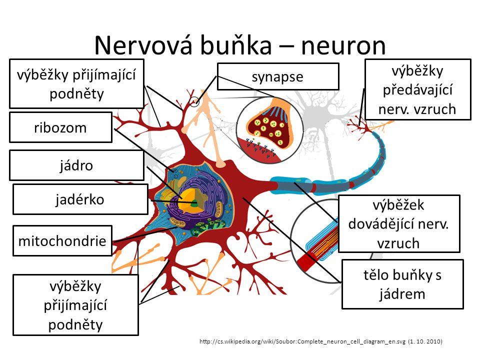 Nervová buňka – neuron výběžky předávající nerv. vzruch