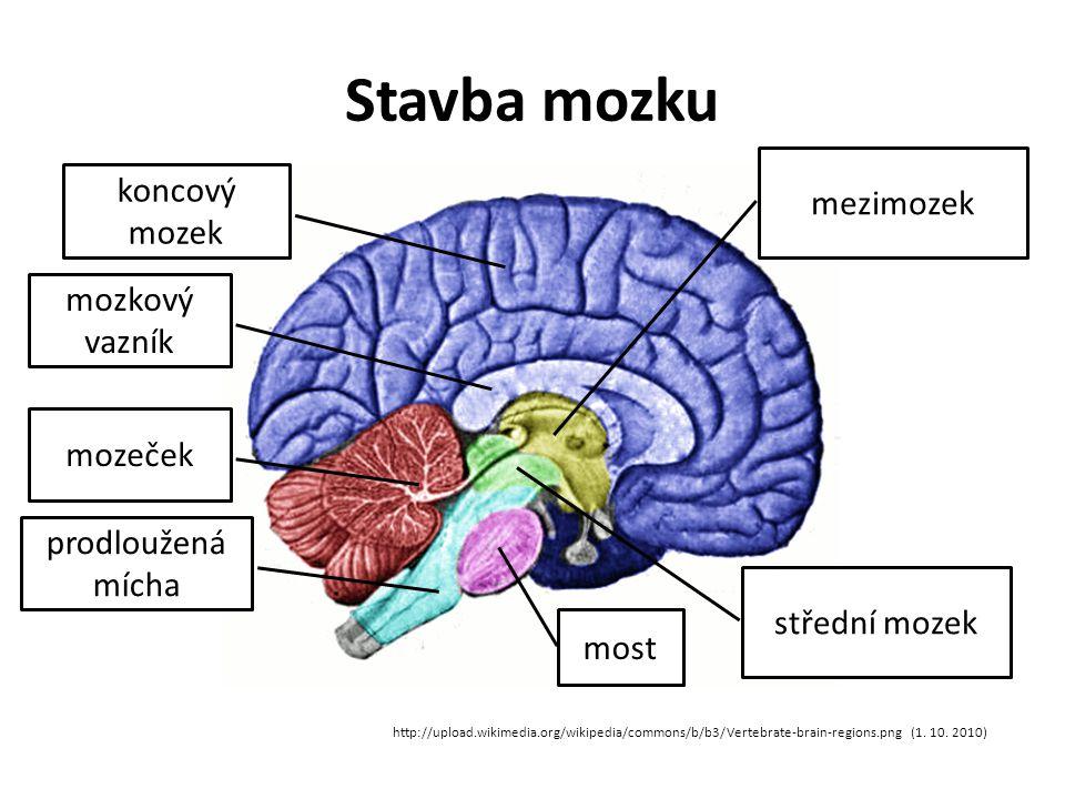 Stavba mozku koncový mozek mezimozek mozkový vazník mozeček